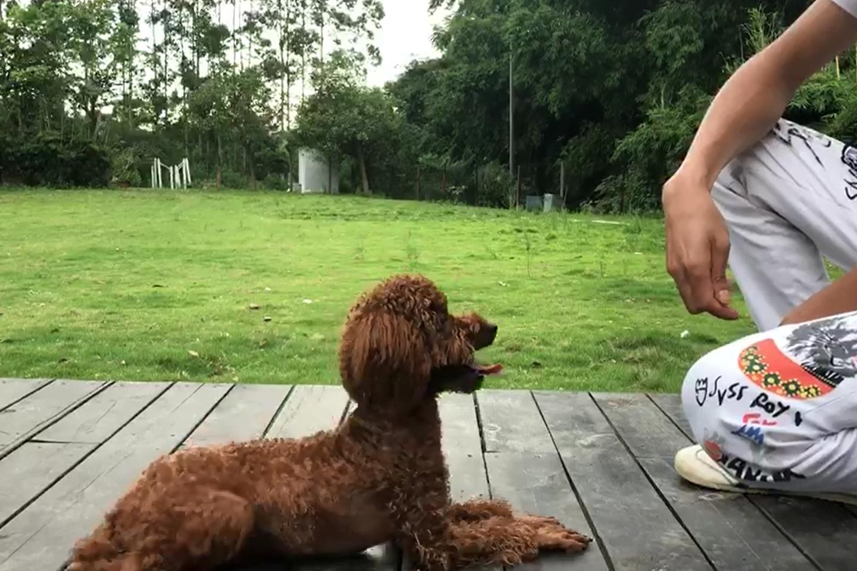 日常训犬训练视频(5)